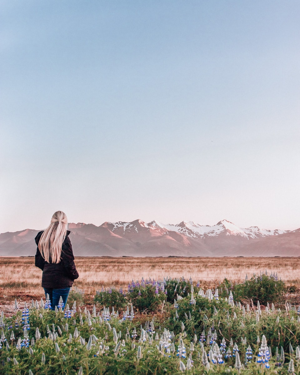 Standing in the Lupine field with snow covered mountains in Iceland in summer near Hofn. Click here for all the best Iceland photo locations around Ring Road in this 6 day Iceland itinerary.