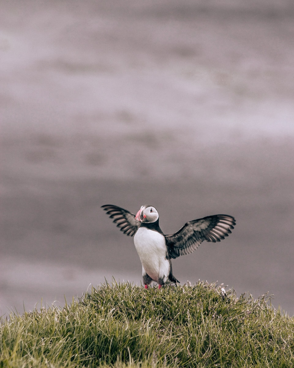 Puffins at Dyrholaey in Iceland. Check out our perfect 6 day itinerary for Ring Road in Iceland!