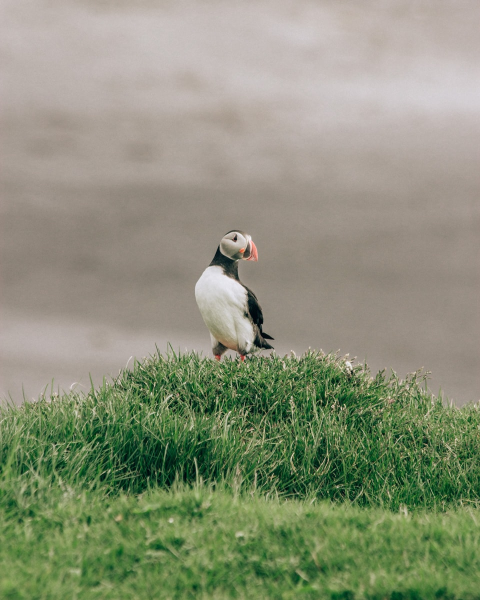 Puffin relaxing in Dyrholaey in Iceland. Check out our perfect 6 day itinerary for Iceland's Ring Road.