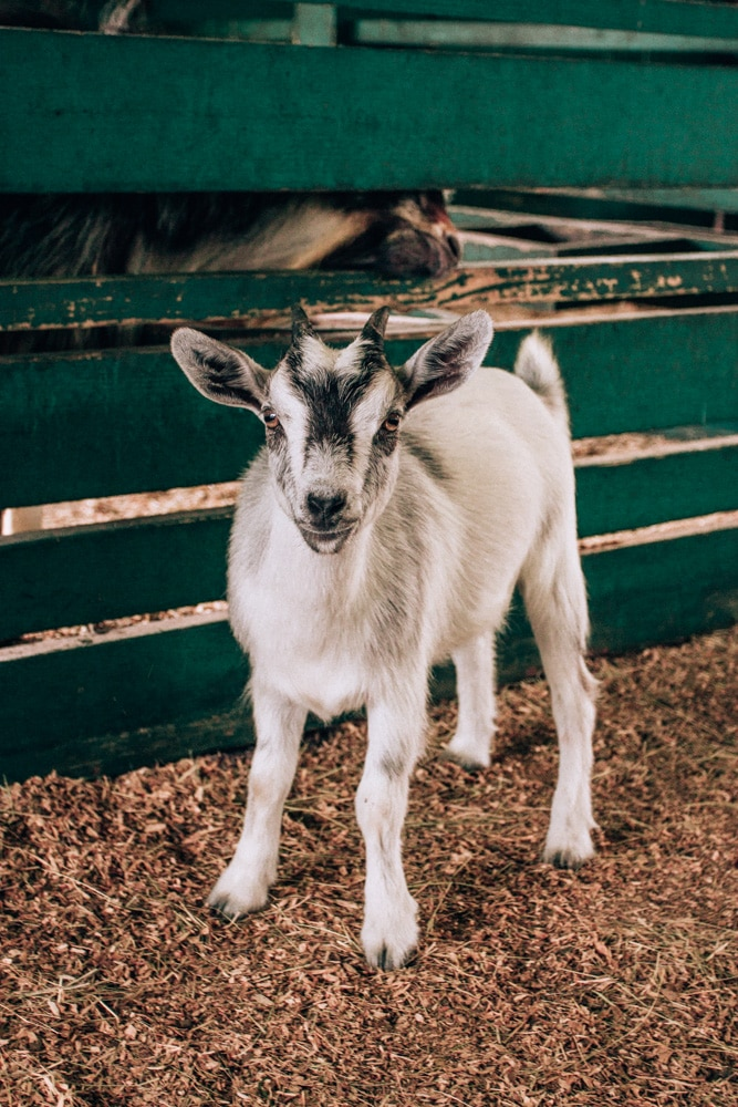 Goat at the petting zoo at Westgate River Ranch