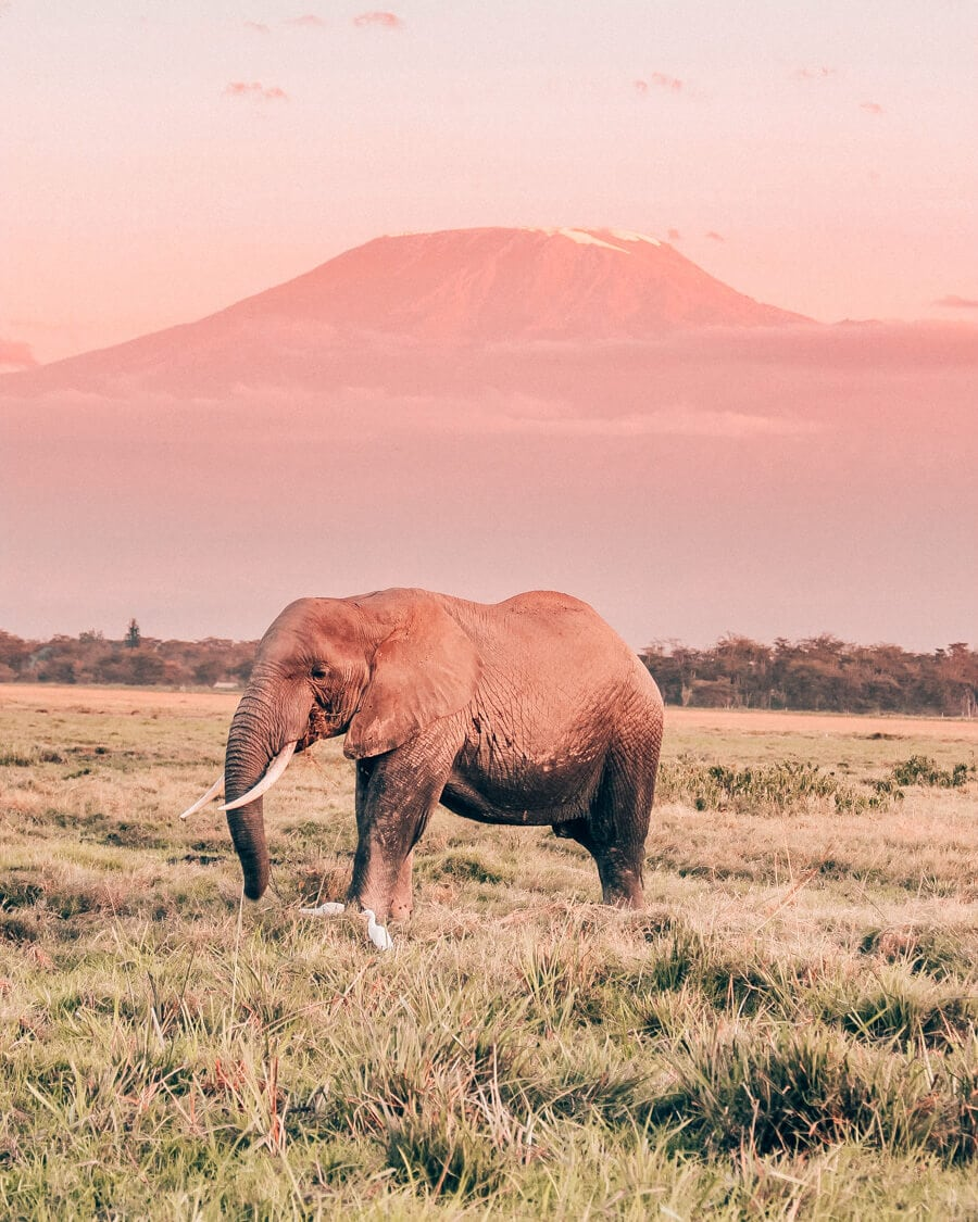 An elephant in Amboseli National Park in Kenya with Mount Kilimanjaro in the background