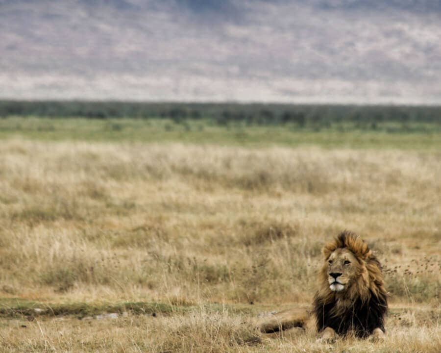 An adult male lion rests in Ngorongoro Crater in Tanzania