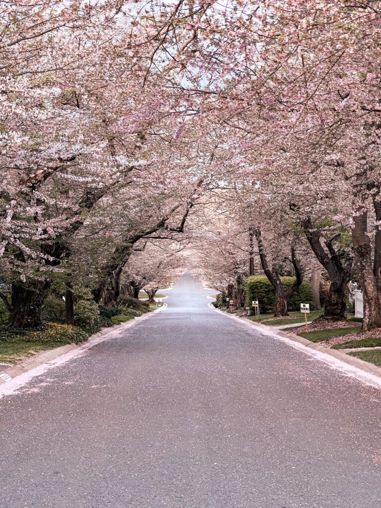Kenwood Cherry Blossoms