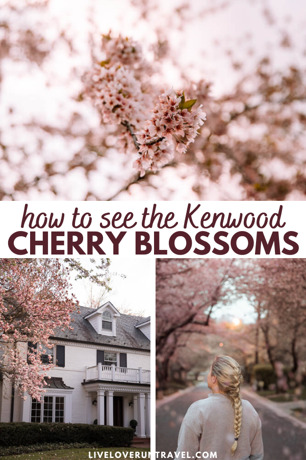 how to see the Kenwood cherry blossoms