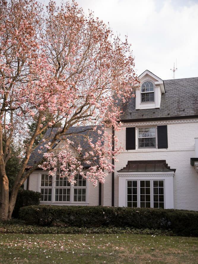 Kenwood neighborhood cherry blossoms in Bethesda Maryland