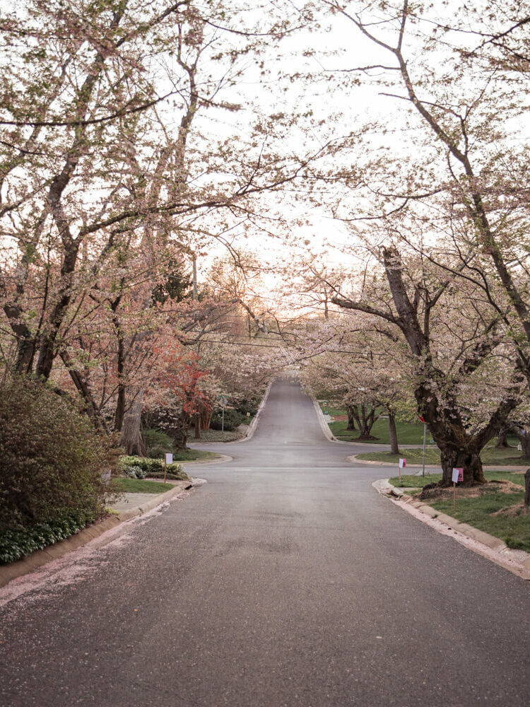 Kenwood cherry blossoms in Montgomery County Maryland