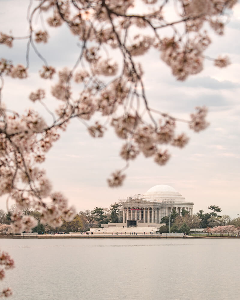 Jefferson Memorial cherry blossoms in washington dc