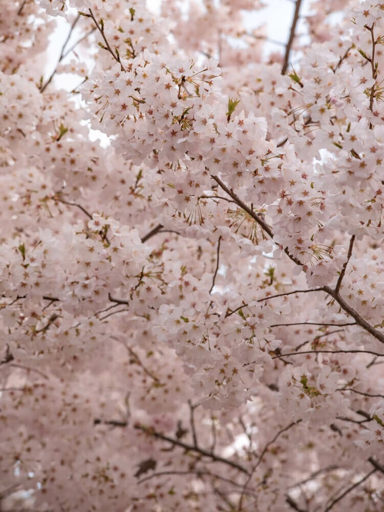 cherry blossoms in washington dc in spring