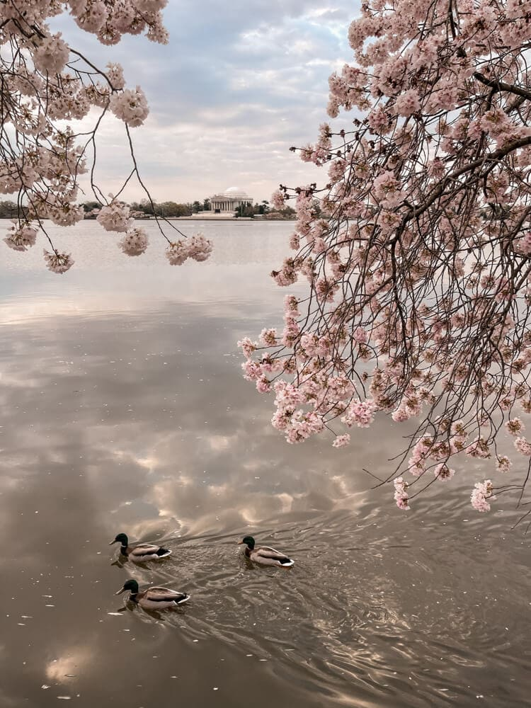 Ducks swimming in the Tidal Basin with cherry blossoms and the Jefferson Memorial