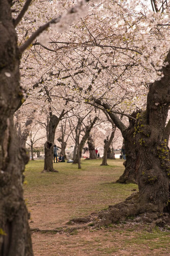 Tidal Basin cherry blossoms in Washington DC
