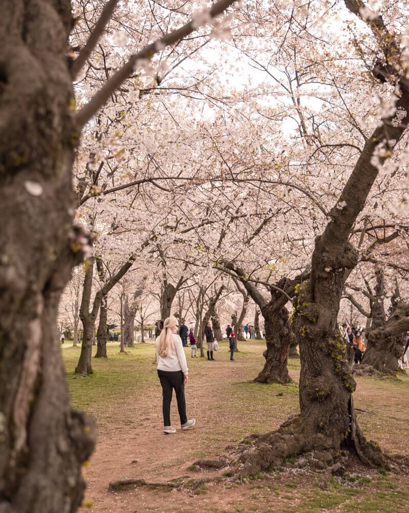 woman walking in the cherry blossoms at the tidal basin