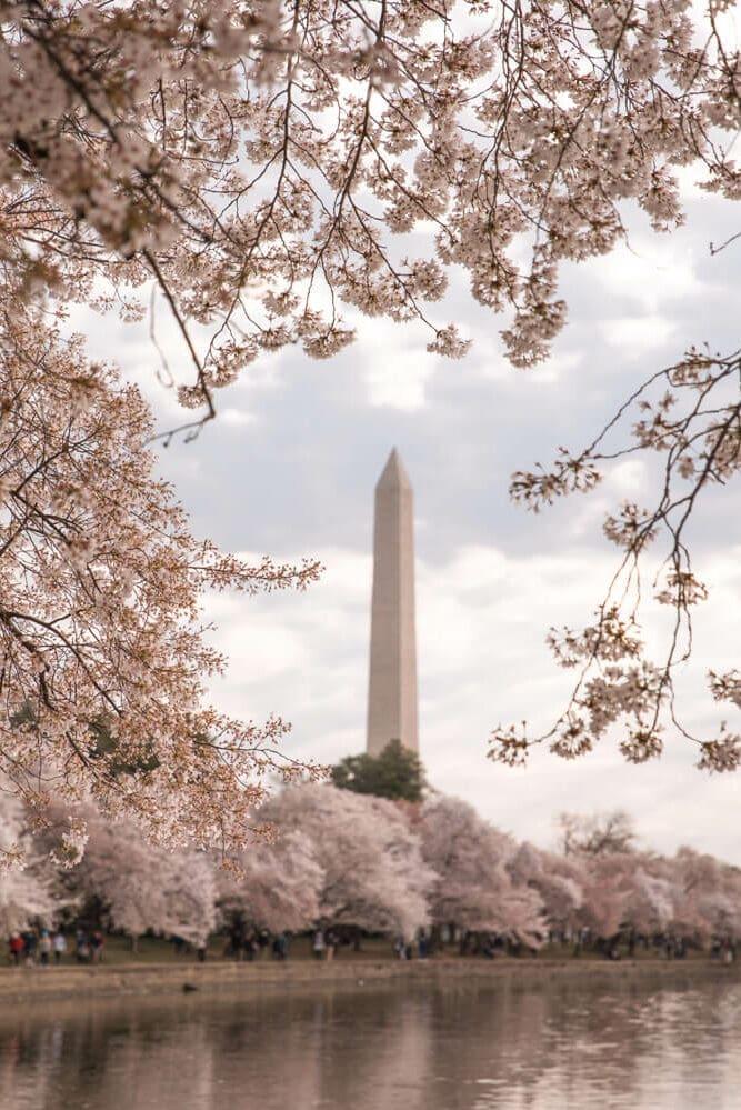 Washington DC cherry blossoms with the Washington Memorial