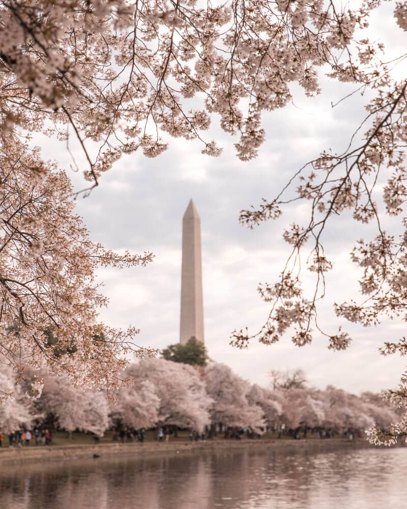 Washington Memorial framed by cherry blossoms at the Tidal Basin in DC