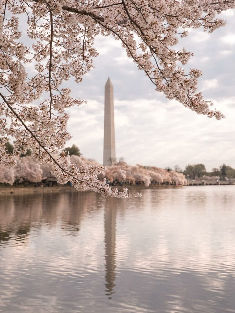 Washington Memorial framed by cherry blossoms