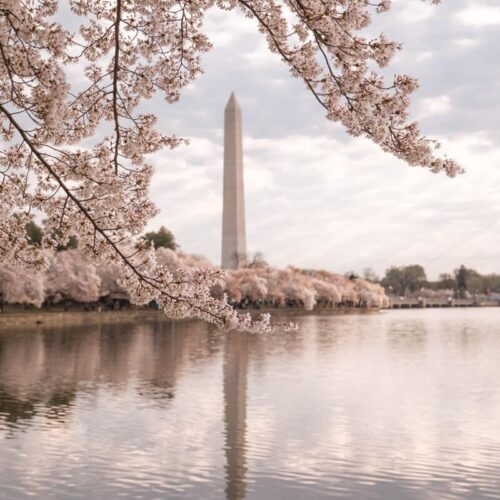 Tidal Basin Cherry Blossoms: Best Cherry Blossoms in DC