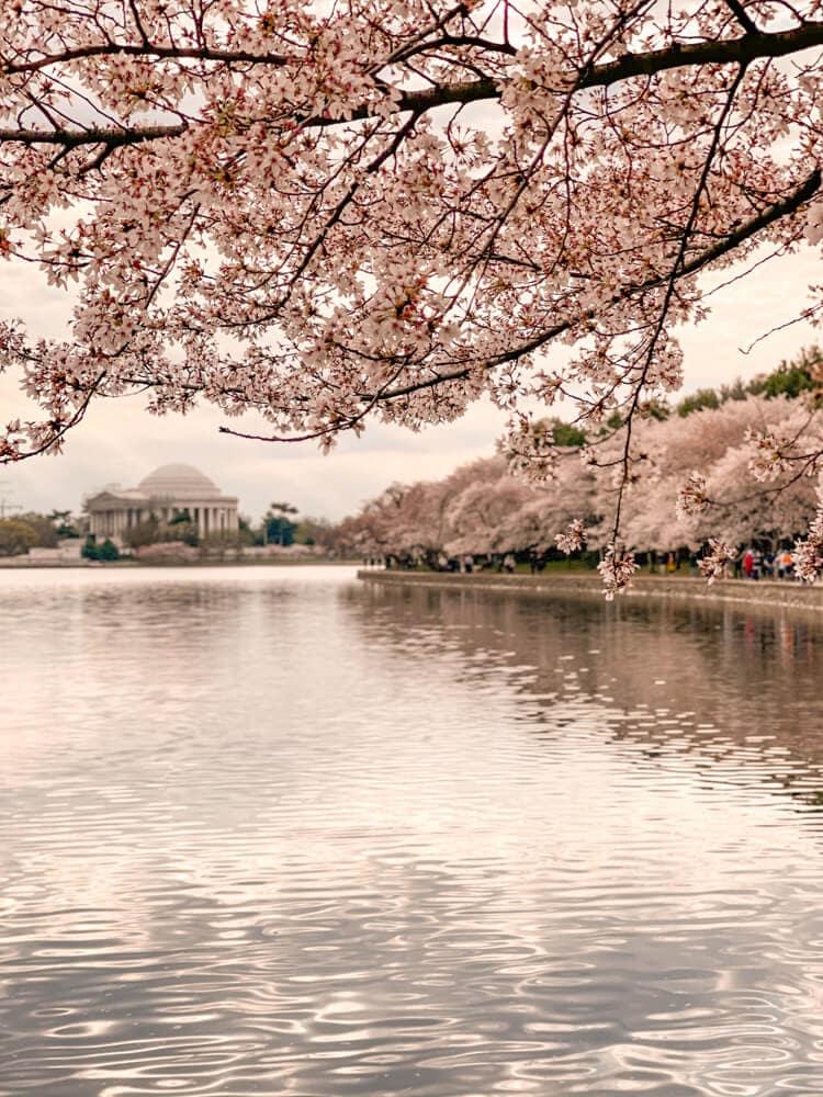 Jefferson Memorial cherry blossoms at sunrise
